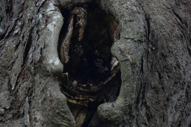 アオバズク樹洞繁殖