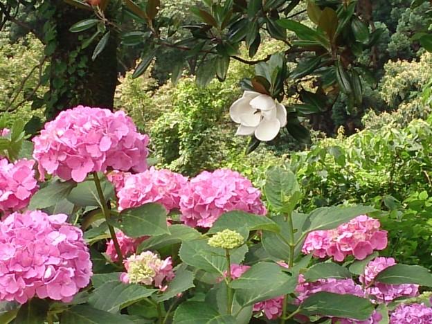 泰山木と紫陽花