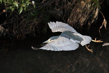 2012.03.06 和泉川 ゴイサギ 飛翔