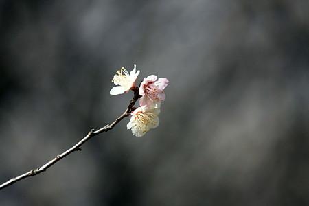 2012.03.25 追分市民の森 ウメ