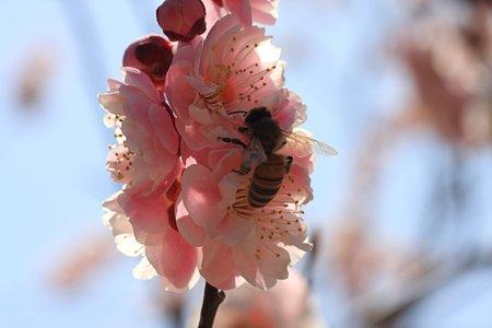 2012.03.29 吉野梅郷 ピンク