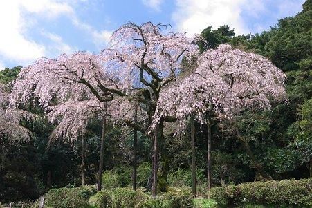 2012.04.12 入生田 長興山 枝垂れ桜