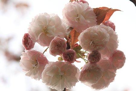 2012.04.21 和泉川 八重桜