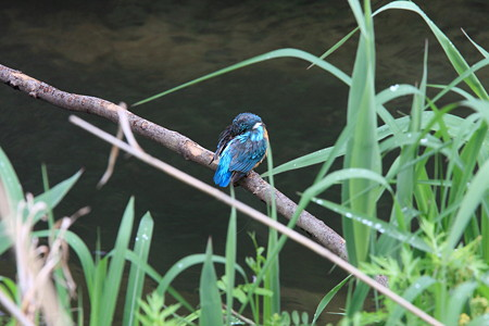 2012.05.04 和泉川 カワセミ
