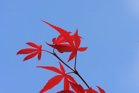 2012.05.16 和泉川 モミジ