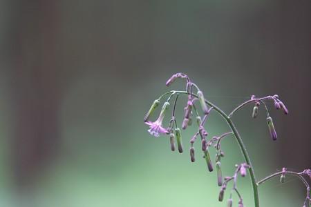 2015.06.11 瀬谷市民の森 ムラサキニガナ