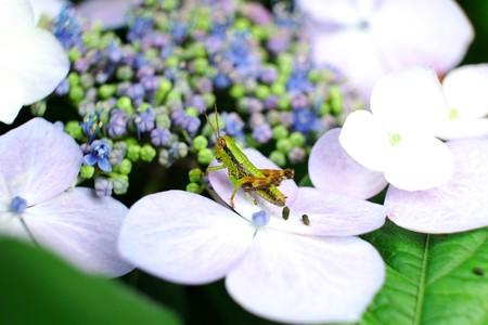 2015.06.11 瀬谷市民の森 紫陽花にヤマトフキバッタ