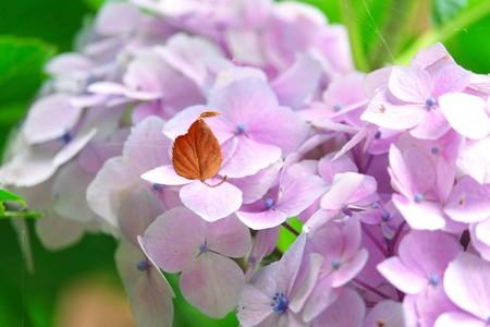 2015.06.16 追分市民の森 枯葉 背景・紫陽花