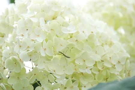 2015.06.22 和泉川 紫陽花でカマキリ