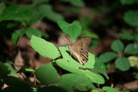2015.06.23 瀬谷市民の森 ヒカゲチョウ