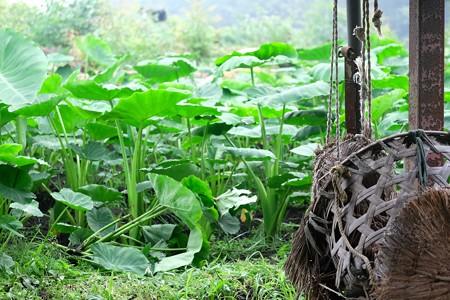 2015.07.08 追分市民の森 里芋畑