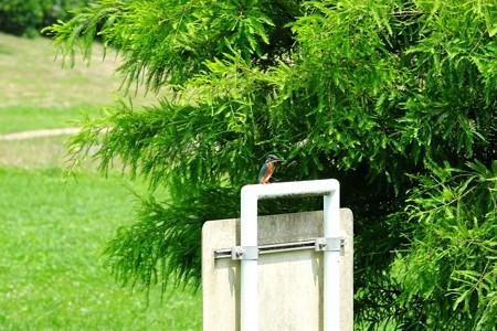 2015.07.11 和泉川 カワセミ
