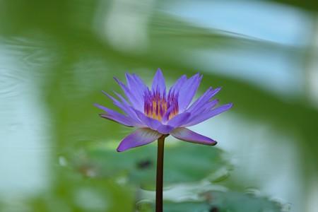 2015.07.15 大船植物園 スイレン Purple