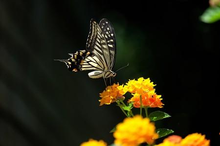 2015.07.22 みなとみらい アメリカ山公園 ランタナへアゲハ
