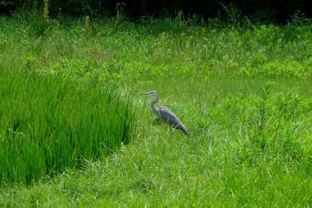 2015.08.08 追分市民の森 田圃で蜻蛉獲りのアオサギ