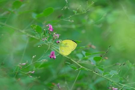 2015.08.18 追分市民の森 萩にキチョウ