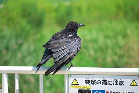 2011.06.29 和泉川 カラス 「突然の雨に注意」