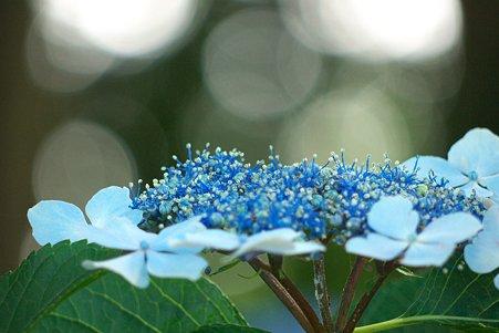 2011.06.30 和泉川 紫陽花