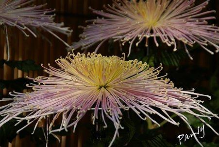 菊の花・・6