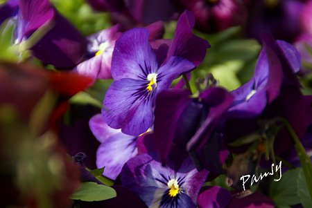pansy..1