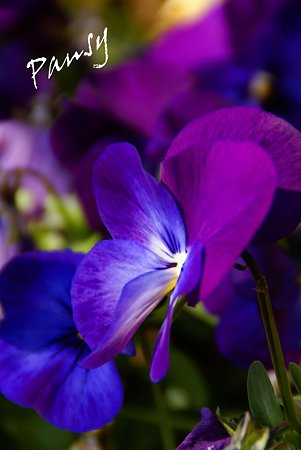 pansy..2