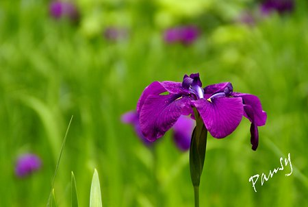 紫の気品・・