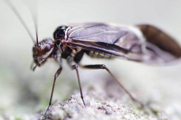 目玉飛び出た昆虫 2.4倍