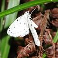 Photos: 目がブルーの蛾 ホシスジシロエダシャクと判明しました。