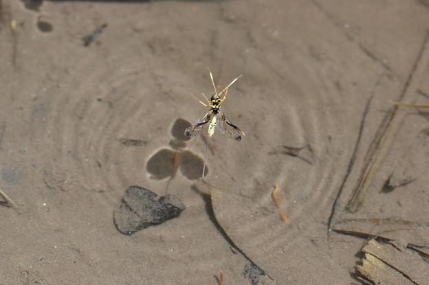 溺れる産卵管のある蜂