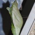 ナミアゲハの蛹でした。この首吊りはジャコウアゲハの蛹?