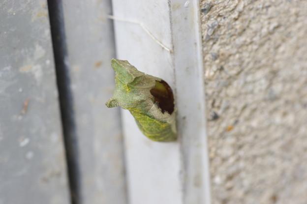 ナミアゲハの蛹 無事に羽化したか?