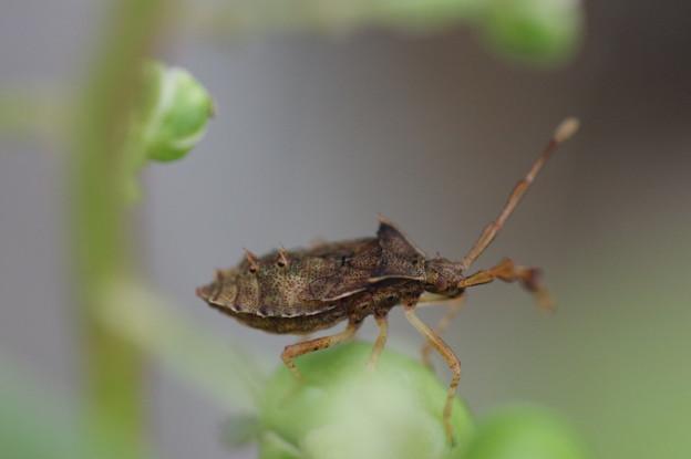 少し大きいハリカメムシの幼虫