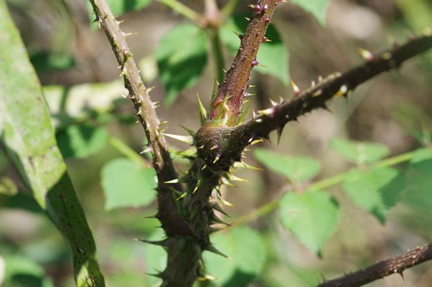 棘があるタラノキ 茎