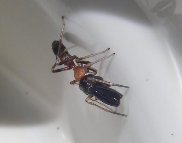 Photos: 蟻蜘蛛