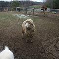 Photos: 羊さん~