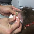 Photos: 左耳は直りかかっていたので漿液(しょうえき)でした