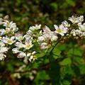 写真: シャクチリ蕎麦の花!(111008)