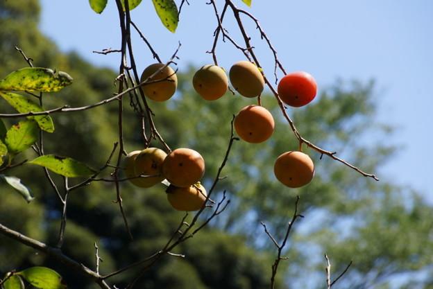 秋に熟した柿の実20150912
