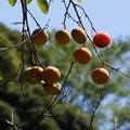写真: 秋に熟した柿の実20150912