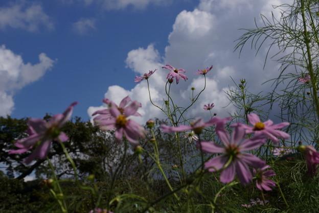 初秋のコスモス咲く20150912