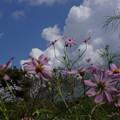 写真: 初秋のコスモス咲く20150912