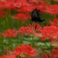 蝶と彼岸花c、2015