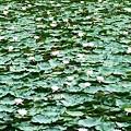大沼のスイレン