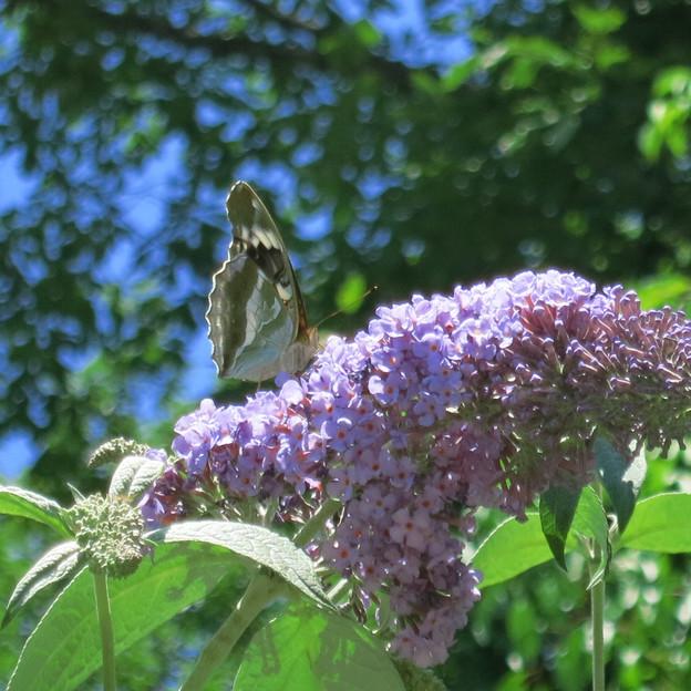 ブッドレアに蝶