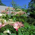 写真: 裏庭の紫陽花-2