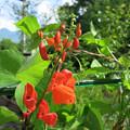 写真: 花豆の花