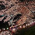 旭川さくらみち 夜桜