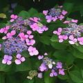 紫陽花アート