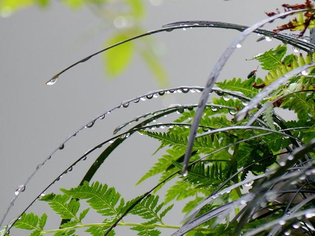 Photos: rs-150910_オオバジャノヒゲと水滴(我が家の花壇) (5)