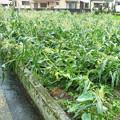 モロコシ畑